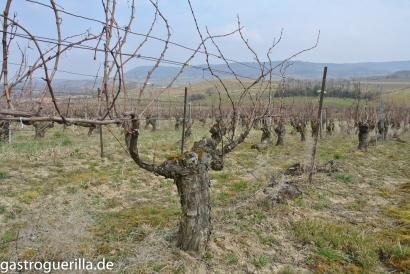 Sehr alte Weinreben, wie vielerorts im Anbaugebiet um Arbois.